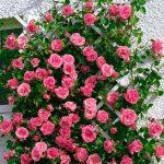 Сорт розы Lawinia