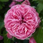 Сорт розы Leonardo da Vinci