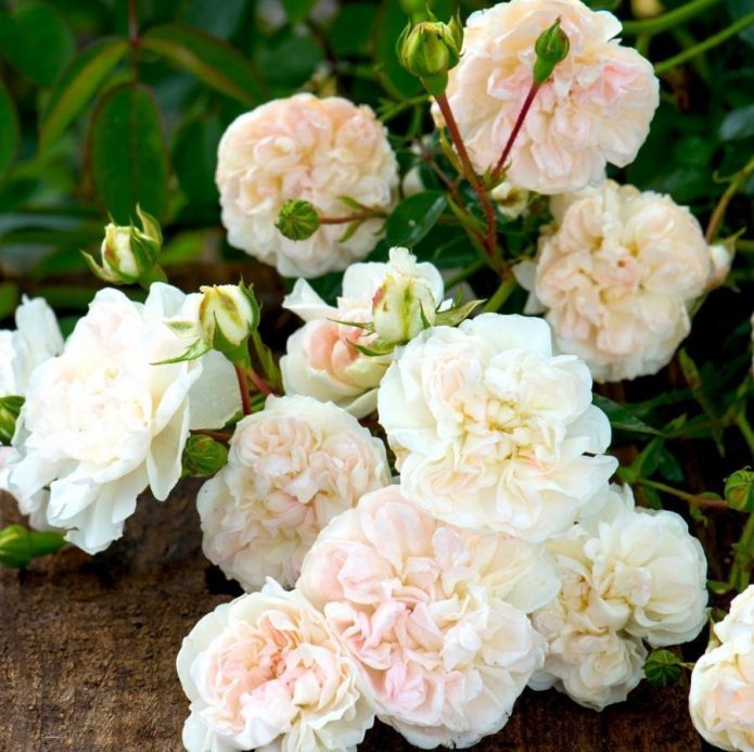 Сорт розы Swany