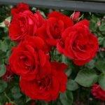 Сорт розы Sympathie