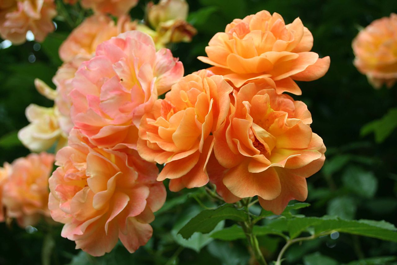 Сорт розы Westerland
