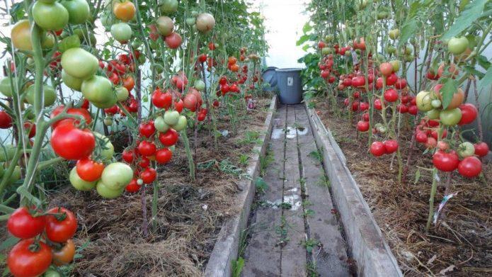Созревающие томаты в теплице