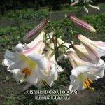 Тибетская лилия