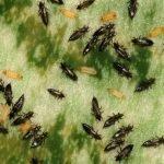 Трипсы — мелкие насекомые
