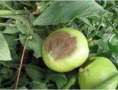 Увидеть такое пятнистый помидор на взлелеянном кусте - это шок для