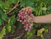 Виноград созревает