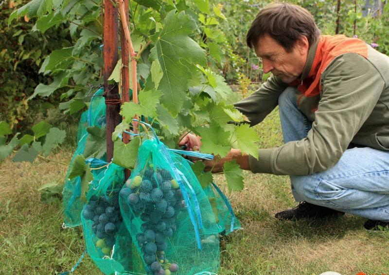 Как защитить виноград от ос во время его созревания?