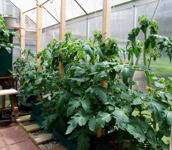 Жирующие помидоры в теплице