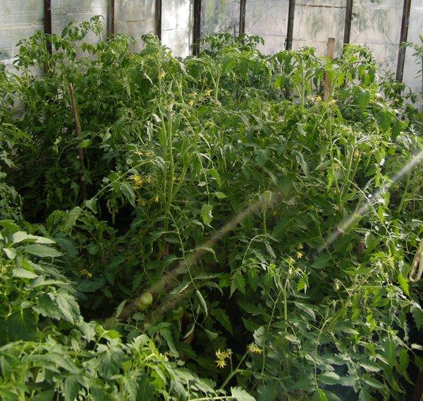 Жирующие в теплице томаты