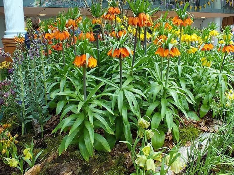 Рябчики (фритиллярии): как их посадить осенью