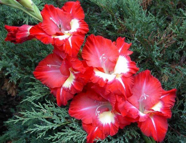 Гладиолусы осенью: когда выкапывать и как хранить до весны