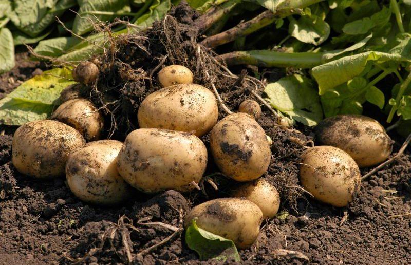 Картошка на грядке
