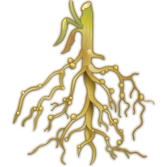 Клубеньки на корнях бобовых