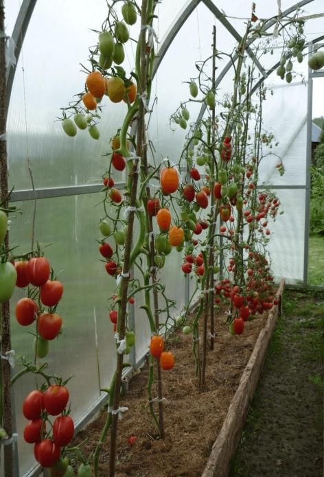 Куст помидоров без листьев