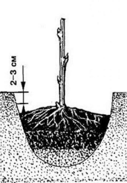 посадка саженца в яму