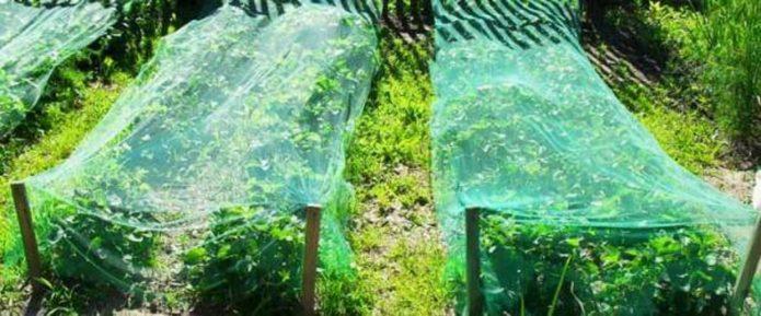Овощные грядки под фитосетками