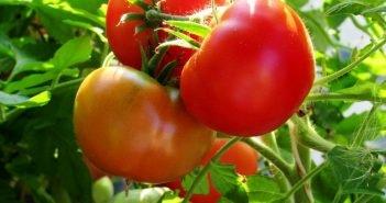 Подкормки помидоров в период плодоношения