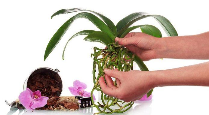 Орхидея с корнями