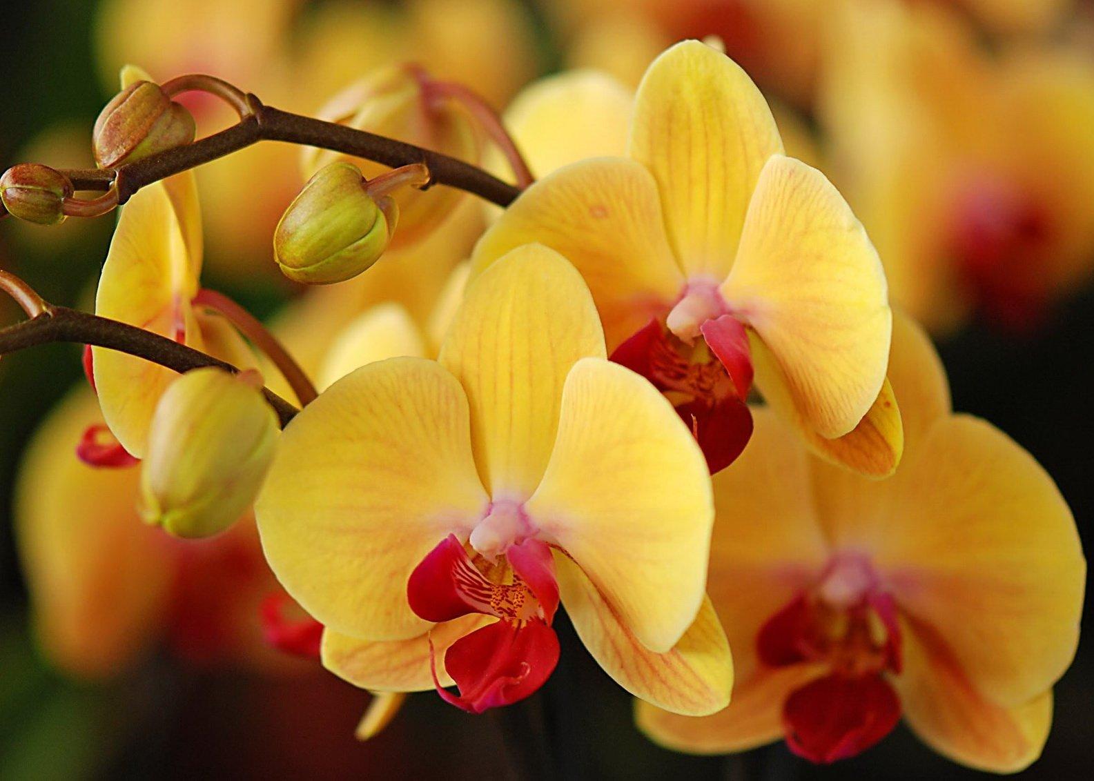 Янтарная кислота для орхидей: как применять для подкормки