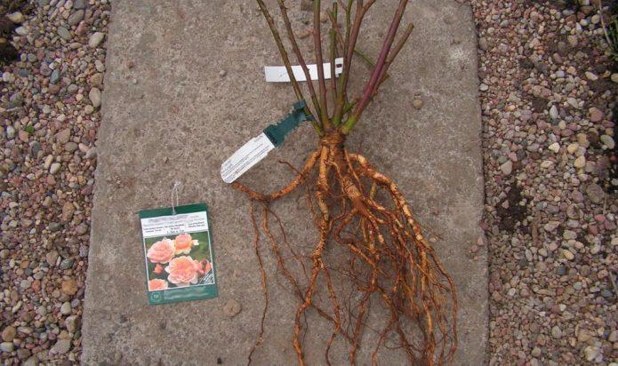 Саженец розы с открытой корневой системой