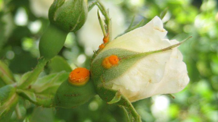 Ржавчина на бутонах роз