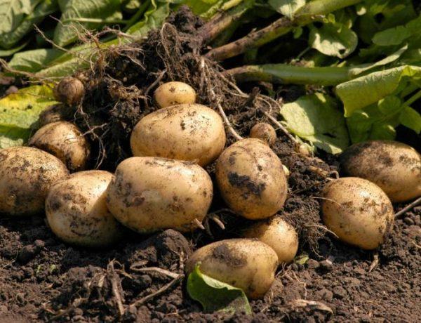 Земля под картофель: чем удобрить осенью для хорошего урожая