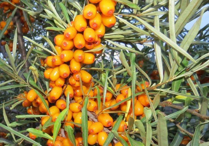 Жёлтые ягоды облепихи