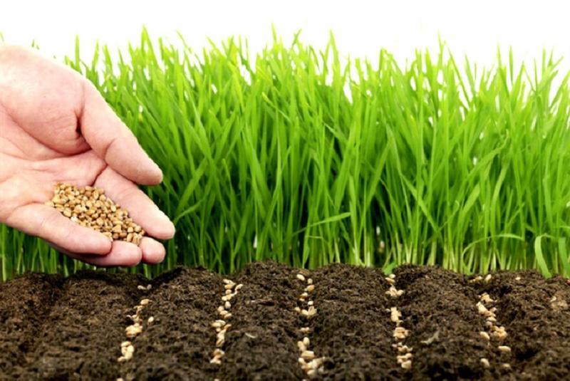 Как сажать рожь для удобрения почвы осенью