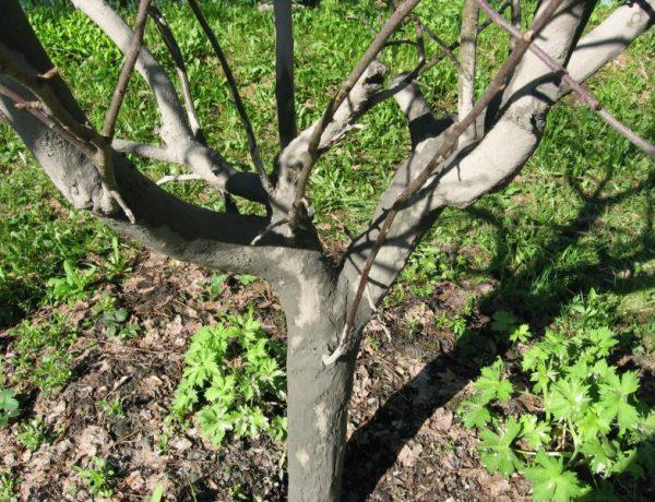 Осенняя обработка яблонь от вредителей и болезней — важное предзимнее мероприятие