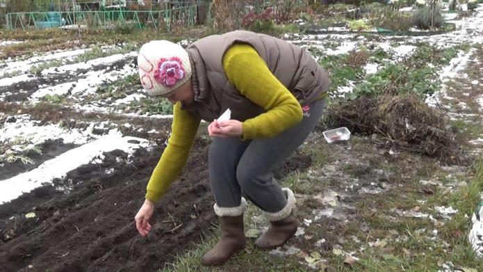 Предзимний посев петрушки