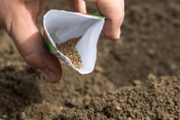 Посев семян петрушки
