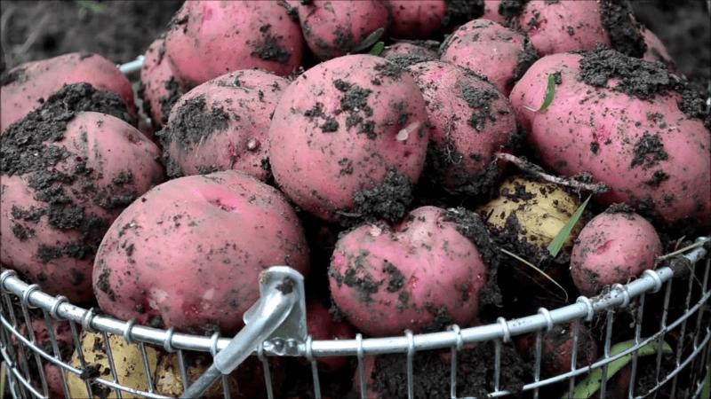 Почему картофель гниёт сразу после уборки и что делать, чтобы избежать проблемы