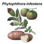 Рисунок — фитофтороз картофеля
