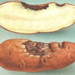 Клубень картофеля, поражённый альтернариозом