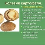 Презентация — кольцевая гниль картофеля