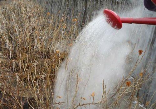 Полив кустов горячей водой