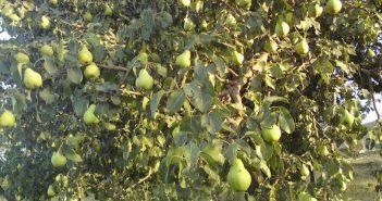 Дерево груши