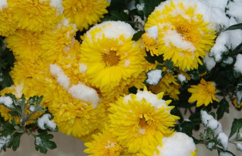 хризантемы снег