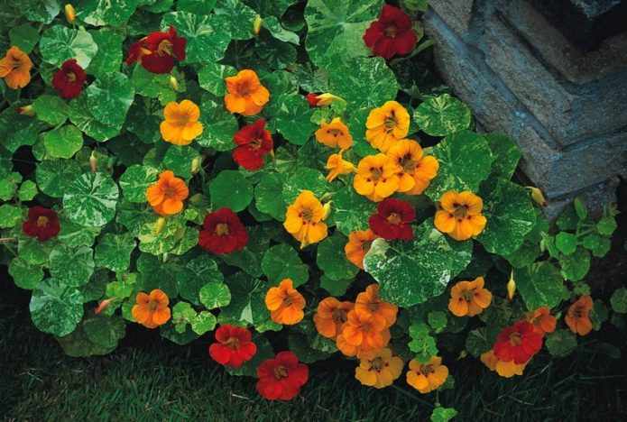 Вариегатная настурция с жёлтыми и красными цветами