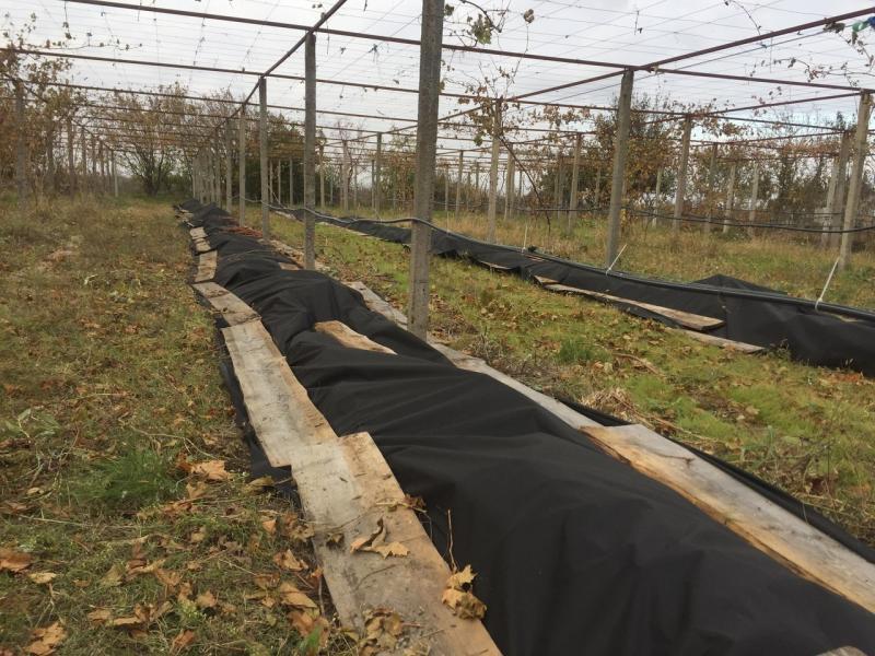 Укрытие винограда на зиму в Подмосковье