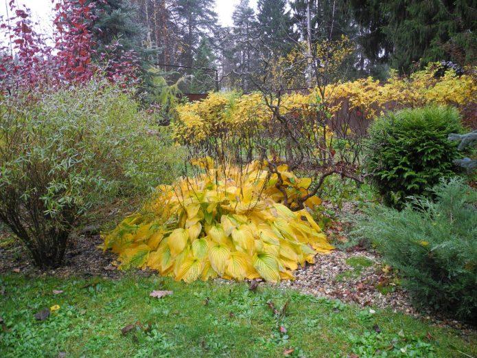 Хоста осенью