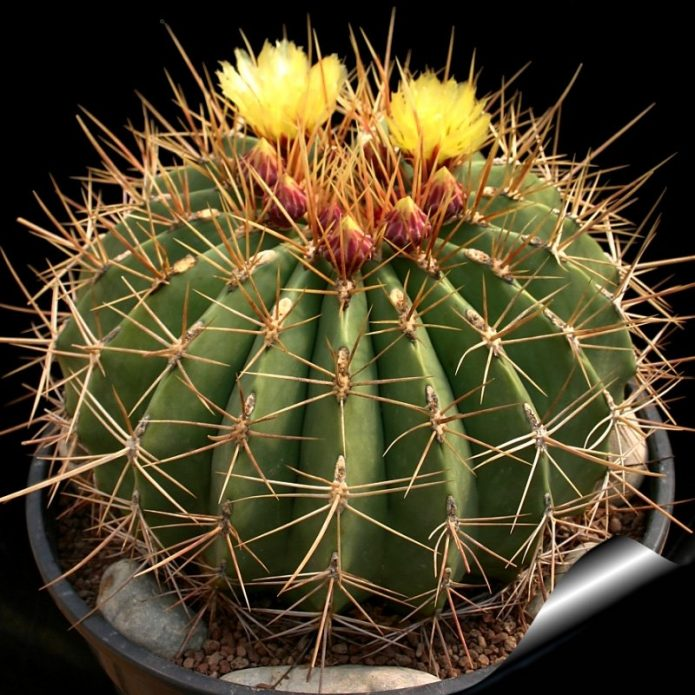 Колючки кактуса