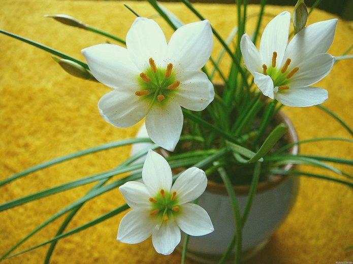 Цветущий зефирантес