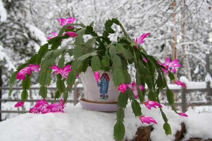 Декабрист на снегу
