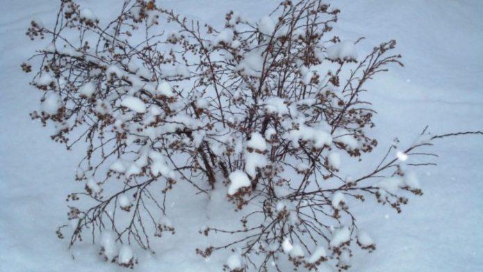 Лапчатка зимой