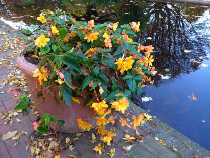 Бегонии осенью