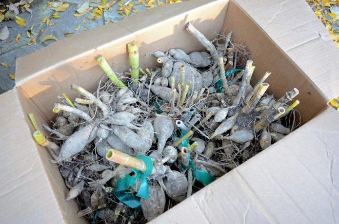 Клубни георгинов в коробке
