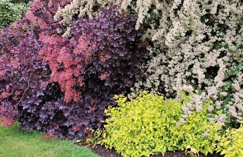 декоративные садовые кустарники
