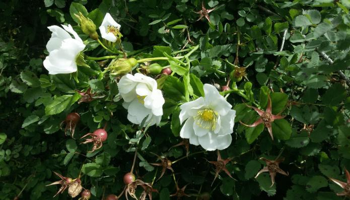 Шиповник садовый