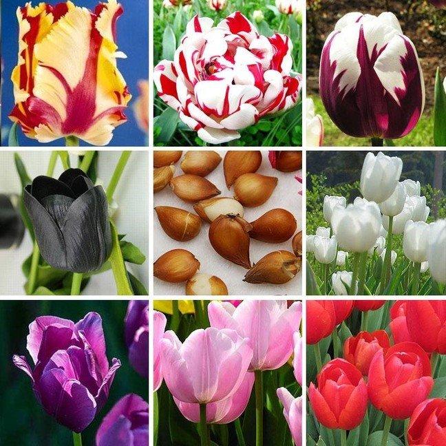 Разные виды тюльпанов